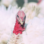 Farm: Male Turkey Looks Proudly At Camera